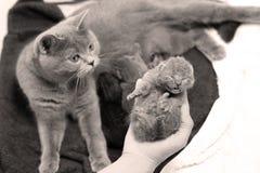 Newly born kitten Stock Images