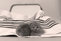 British Shorthair kitten in a suitcase. Newly born kitten on a traditional handmade carpet, striped rug in a suitcase stock photo