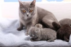 Newly born kittens. Newly born British Shorthair kittens on a soft towel, first day of life, one day old Royalty Free Stock Photo