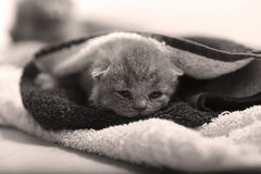 Newly born kittens. Cute British Shorthair newly born babies one day old, covered in a towel royalty free stock photography