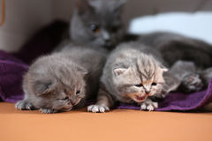 Newly born kittens, first day Royalty Free Stock Image