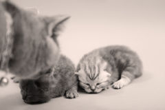 Newly born kittens, first day Royalty Free Stock Photo