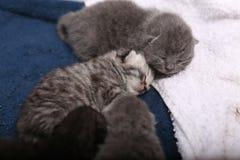 Newly born kittens Royalty Free Stock Photography
