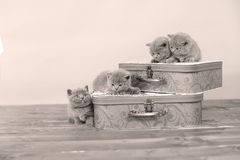 British Shorthair kittens and two suitcases Royalty Free Stock Photos