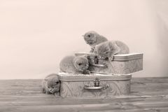 British Shorthair kittens and two suitcases Stock Image