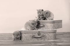 British Shorthair kittens and two suitcases Royalty Free Stock Photo