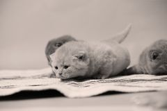 British Shorthair kittens on a small carpet. Newly born kittens on a traditional handmade carpet, striped rug royalty free stock images