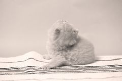 British Shorthair kittens on a small carpet. Newly born kittens on a traditional handmade carpet, striped rug stock images