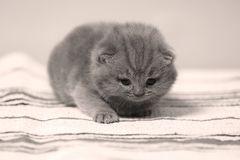 British Shorthair kittens on a small carpet. Newly born kittens on a traditional handmade carpet, striped rug royalty free stock image
