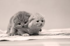 British Shorthair kittens on a small carpet. Newly born kittens on a traditional handmade carpet, striped rug royalty free stock photo
