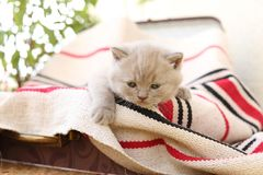 British Shorthair kittens in a suitcase. Newly born kittens on a traditional handmade carpet, striped rug in a suitcase royalty free stock photo