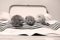 British Shorthair kittens in a suitcase. Newly born kittens on a traditional handmade carpet, striped rug in a suitcase royalty free stock image