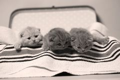 British Shorthair kittens in a suitcase. Newly born kittens on a traditional handmade carpet, striped rug in a suitcase stock photos