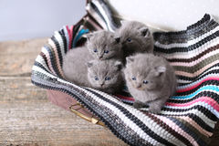 British Shorthair kittens on a small carpet Stock Image