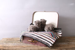 British Shorthair kittens on a small carpet Royalty Free Stock Photography