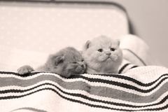 British Shorthair kittens in a suitcase. Newly born kittens on a traditional handmade carpet, striped rug in a suitcase royalty free stock images