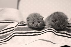 Two British Shorthair kittens in a suitcase. Newly born kittens on a traditional handmade carpet, striped rug in a suitcase royalty free stock photography