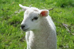 Newly born lamb. In meadow royalty free stock images