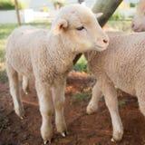 Newly born lamb in pen Royalty Free Stock Photo