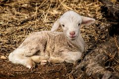 Lamb resting on grass Royalty Free Stock Image