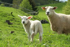 Newly born lamb and sheep. In meadow stock photo
