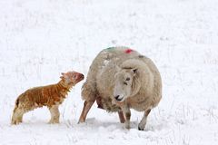 Newly born lamb in the snow. Aberdeen, Scotland Royalty Free Stock Image