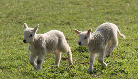 Newly Born Lambs Stock Photos