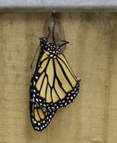 Newly Born Monarch Butterfly. Orange and black monarch butterfly newly born clinging to its clear chrysalis against a light tan colored wood background stock images