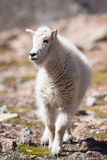 Newly born Mountain Goat in Colorado Royalty Free Stock Photography