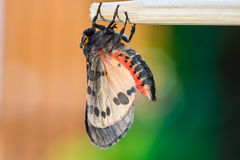 Newly born Olepa ricini moth Royalty Free Stock Photo