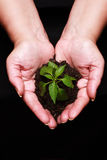 Newly born plant. Hands holding a newly born plant over a black background stock photos
