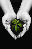Newly born plant. Hands holding a newly born plant over a black background, hands desaturated royalty free stock image