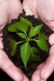 Newly born plant. Hands holding a newly born plant over a black background, close-up Royalty Free Stock Photos