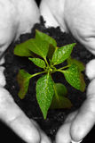 Newly born plant. Hands holding a newly born plant over a black background, close-up, hands desaturated Royalty Free Stock Photography