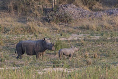 Newly born rhinoceros and mother in wild Royalty Free Stock Photos