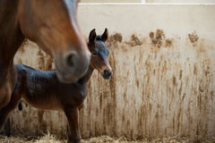 A newly born stallion Royalty Free Stock Images