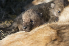 Newly born timber wolk resting on mother Stock Image