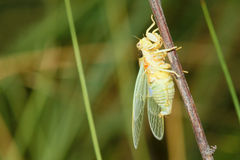 Newly cicada Royalty Free Stock Image