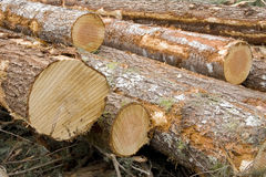 Newly Cut Logs Royalty Free Stock Photography