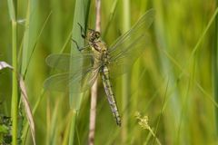 A newly emerged Black-tailed Skimmer dragonfly. stock images
