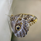 Newly Emerged Butterfly royalty free stock photography