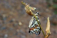 Newly emerged butterfly Stock Image