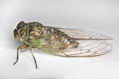 Newly emerged cicada Royalty Free Stock Photo