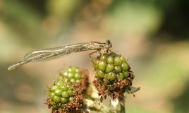 A newly emerged stunning Common Blue Damselfly Enallagma cyathigerum perching on a green blackberry. royalty free stock images