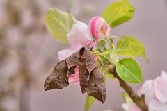 Beautiful eyed hawk moth, Smerinthus ocellatus, on apple blossom. royalty free stock photo