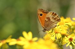A pretty newly emerged Gatekeeper Butterfly Pyronia tithonus nectaring on Ragwort flowers. stock images