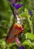 Newly Emerged Hummingbird Moth Royalty Free Stock Photo