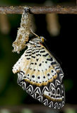Newly emerged Lacewing butterfly. Royalty Free Stock Photo