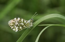 A newly emerged male Orange-tip Butterfly Anthocharis cardamines perched on a blade of grass. A newly emerged beautiful male Orange-tip Butterfly Anthocharis royalty free stock photos