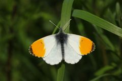 A newly emerged male Orange-tip Butterfly Anthocharis cardamines perched on a blade of grass. A newly emerged beautiful male Orange-tip Butterfly Anthocharis stock photos